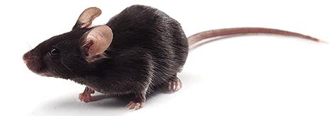 APP/PS1双转基因小鼠销售购买价格低保质保量 SPF级