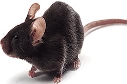 appps1双转基因小鼠
