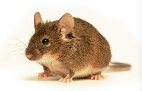 【现货3xTg-AD小鼠app/ps1/tau转基因小鼠】