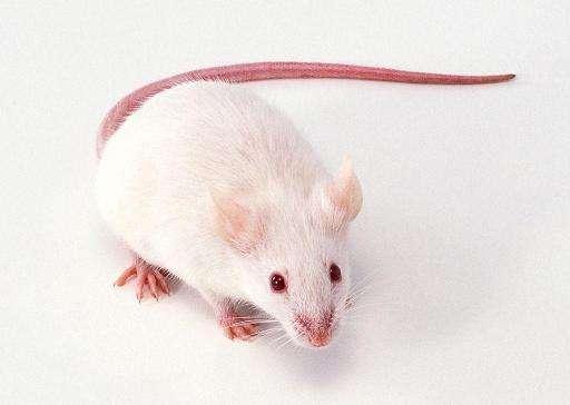 老年SD大鼠老龄鼠SD大鼠sd老龄鼠购买价格低